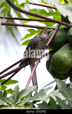 Indian Koel (Eudynamys, Scolopacea) - Stock Photo