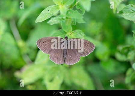 Ringlet (Aphantopus hyperantus). Upperside of adult imago. - Stock Photo