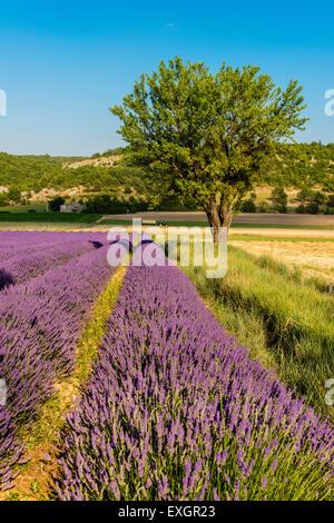 Scenic lavender field in Provence, France - Stock Photo