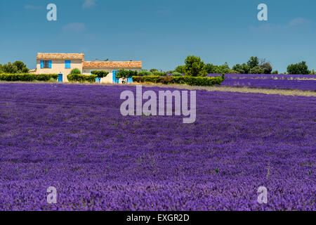 Scenic lavender field in Provence, France - Stock Photo