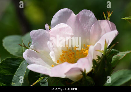 Dog rose, Rosa canina, flowering wild climbing plant with pink and white flowers in summer, Berkshire, June - Stock Photo