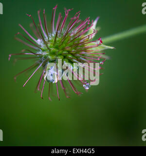 Grass seed head up close and after rain... Pretty in pink - Stock Photo