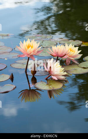 Nymphaea Maria. Hardy Water Lily flowers in a pond with reflections - Stock Photo