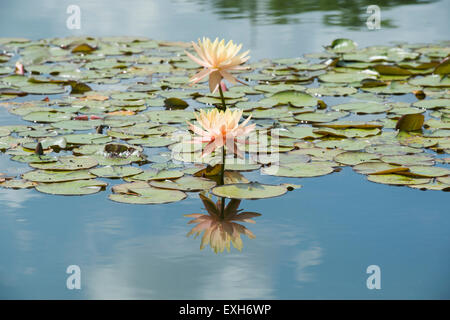 Nymphaea Maria. Hardy Water Lily in a pond with reflections - Stock Photo