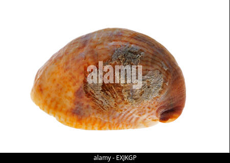 American slipper limpet / common slipper limpet (Crepidula fornicata) shell on white background - Stock Photo