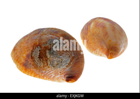 American slipper limpets / common slipper limpet (Crepidula fornicata) shells on white background - Stock Photo