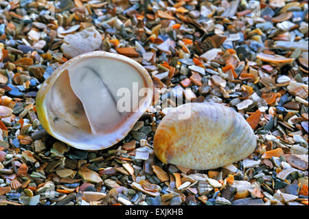 American slipper limpets / common slipper limpet (Crepidula fornicata) shells washed on beach - Stock Photo