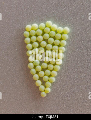 Stink bug eggs (Halyomorpha halys) - Virginia USA - Stock Photo