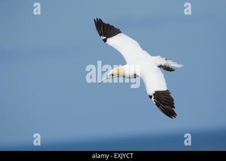 A single adult Northern Gannet (Morus bassanus) in flight against blue sky - Stock Photo