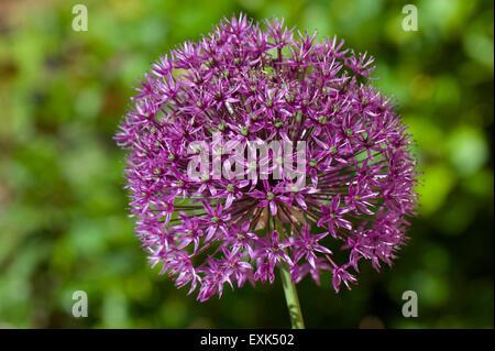 Allium 'Sensation' purple flower head, a gharden bulb ornamenmtal, Berkshire, May - Stock Photo