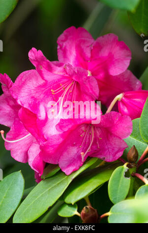 Close up of a single flower truss of the Rhododendron williamsianum hybrid 'Willbrit' - Stock Photo