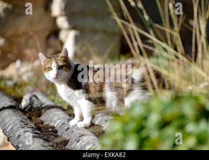 House cat (Felis silvestris catus)