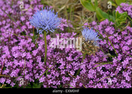 Sheep's-bit - Jasione montana  With Wild Thyme - Thymus polytrichus - Stock Photo