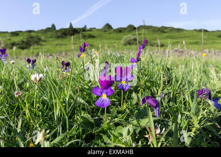 Mountain Pansy Viola Lutea Upper Teesdale North Pennines County Durham UK - Stock Photo