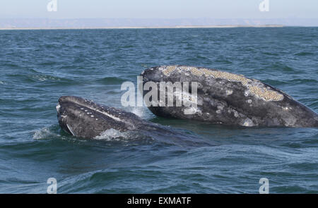 Mother and Calf Gray Whale heads - Stock Photo
