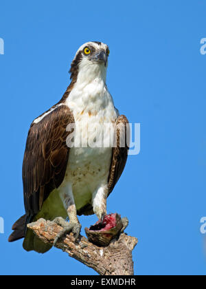 Osprey in Dead Tree with Headless Fish - Stock Photo