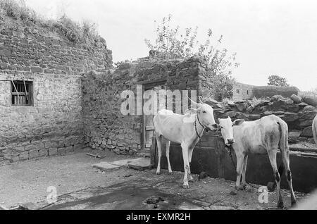 two cows in roofless village house in village Munagli in Bijapur Karnataka India - Stock Photo