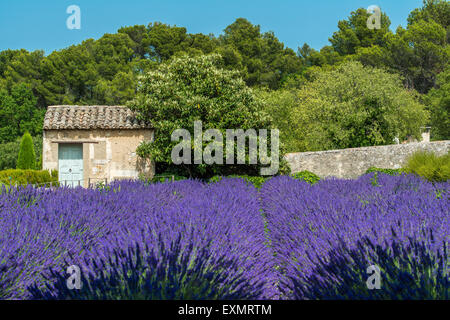 Lavender field with cottage stone, Provence, France - Stock Photo