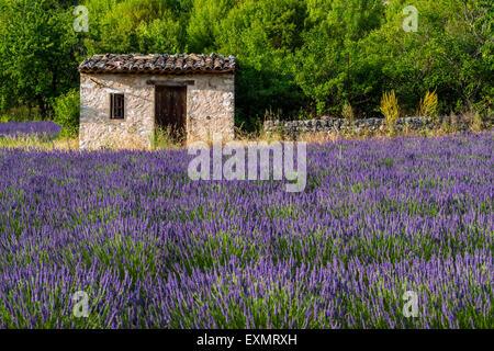 Stone cottage in the middle of a lavender field in bloom, Provence, France - Stock Photo