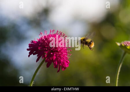 A solo bumblebee in flight, just before it lands on a beautiful pink flower in a garden in the North East of England - Stock Photo