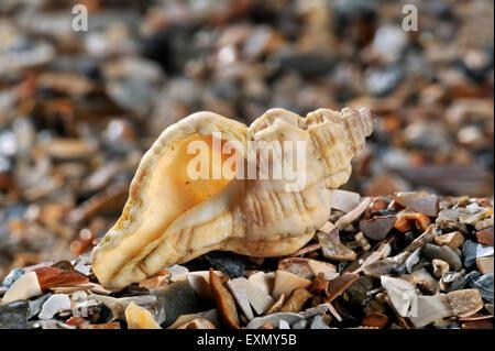 Sting winkle / Oyster drill / Hedgehog Murex (Ocenebra erinacea) washed on beach - Stock Photo