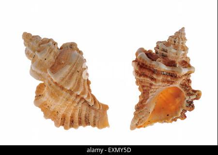 Sting winkle / Oyster drill / Hedgehog Murex (Ocenebra erinacea) shells on white background - Stock Photo