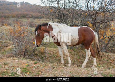 Tatar horse near bush of wild dog-rose in Crimean mountains - Stock Photo