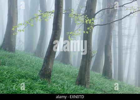 Beech woodland on a misty spring morning. Somerset. UK. Bluebell foliage on woodland floor. - Stock Photo