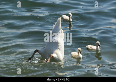 Swan swans with cygnets swimming with their mother feeding bottoms up - Stock Photo
