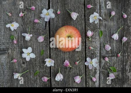 Apple blossoms on weathered wood, Gala Royal apple - Stock Photo