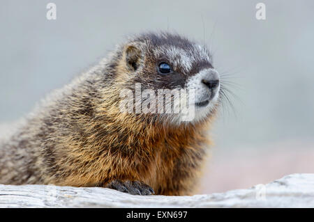 Baby Yellow-bellied Marmot (Marmota flaviventris), Yellowstone National Park, Wyoming - Stock Photo