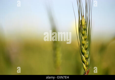 Young green wheat in the field - Stock Photo