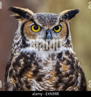 A closeup of a great horned owl. - Stock Photo