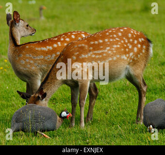 Sika deer in their summer coat stood in a green field, guinea fowl sharing the grazing with them - Stock Photo