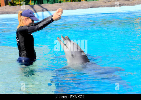 Dolphin trainer interacts with two Indo-Pacific Bottlenose Dolphins,Tursiops aduncus, at Dolphin Marine Magic, Coffs - Stock Photo