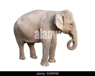 female asia elephant isolated on white background - Stock Photo
