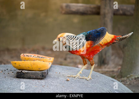 beautiful golden pheasant in zoo - Stock Photo