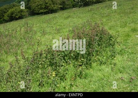Stinging nettles, Urtica dioica, flowering in downland grass pasture in summer, Berkshire, June - Stock Photo