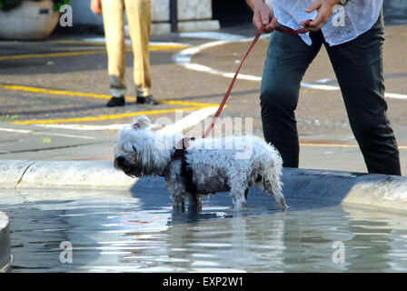 Padua, Italy. 15th July, 2015. Italy swelters under continuing heatwave. Padua, July 15, 2015,  a dog bathes in - Stock Photo