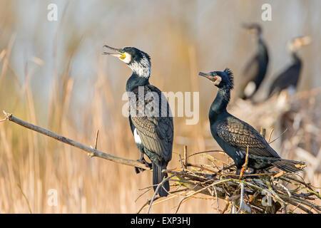 Great Cormorants (Phalacrocorax carbo) at the nest, breeding colony, Middle Elbe Biosphere Reserve, Saxony-Anhalt, - Stock Photo