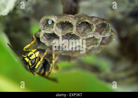 Common Wasp (Vespula vulgaris), brood comb with egg, Saxony-Anhalt, Germany - Stock Photo