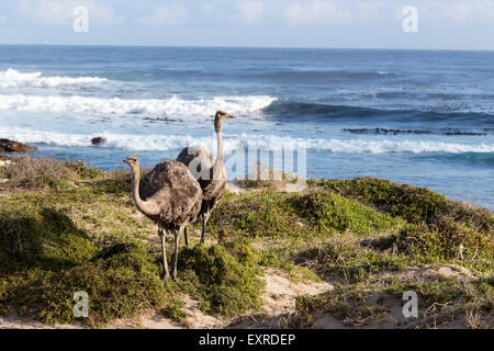 Ostriches near Cape of Good Hope , South Africa - Stock Photo