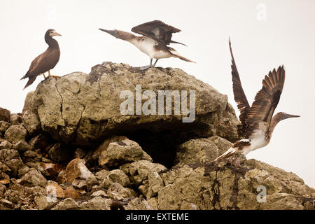 Brown Booby (left) and two Blue-footed Booby (center and right) on a small cliffy island in Isla de Coiba national - Stock Photo