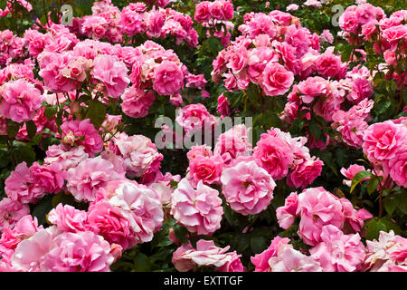 Pink floribunda roses in a flowerbed close up. - Stock Photo
