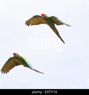 Pair of South American Military macaws (Ara militaris) in flight - Stock Photo