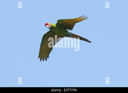 Military macaw (Ara militaris) in flight, native to Mexico and Northern South America - Stock Photo