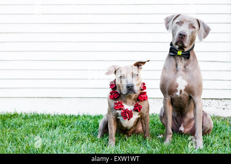Brown Pitbull and Weimaraner dogs sitting in grass in front of white wall wearing bow tie and lei - Stock Photo