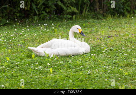 Bewick's swan (Cygnus bewickii) with yellow beak at Wildfowl and Wetlands Trust, Arundel, West Sussex, UK - Stock Photo