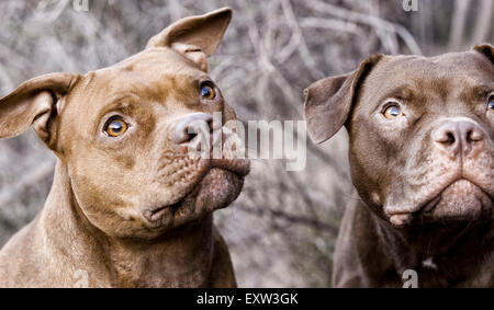 Two brown pitbulls looking up, anticipation, focus - Stock Photo