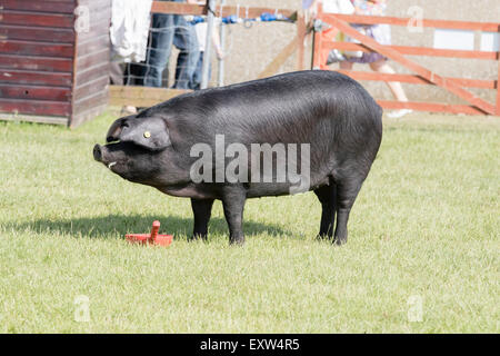 Harrogate, North Yorkshire, UK. 15th July, pig being judged at the Great Yorkshire Show 15th July, 2015 at Harrogate - Stock Photo